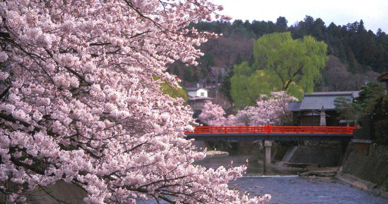 【2019年は早咲き】【飛騨・高山市の桜スポット11選】名所や見ごろ・開花時期は?桜&花見